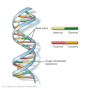 Dna the program of life evidence to believe dna is short for deoxyribonucleic acidthe instruction book of life that provides the malvernweather Image collections